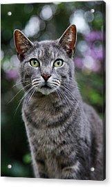 Gray Tabby Cat Portrait Acrylic Print by Amy Jackson