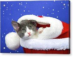 Gray Tabby Kitten Waiting For Santa Acrylic Print