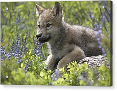 Gray Wolf Canis Lupus Pup Amid Lupine Acrylic Print by Tim Fitzharris