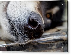 Acrylic Print featuring the photograph Gray Wolf Nose by Teri Virbickis