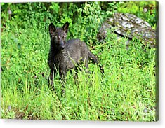 Gray Wolf Pup Acrylic Print by Louise Heusinkveld