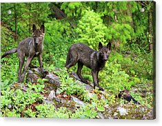 Gray Wolf Pups Acrylic Print by Louise Heusinkveld