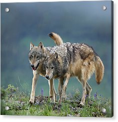 Gray Wolves Acrylic Print