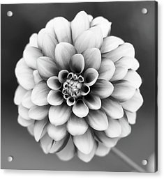 Graytones Flower Acrylic Print by Photography På