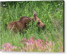 Grazing Baby Moose Acrylic Print
