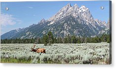 Grazing Elk In Grand Teton National Park Acrylic Print