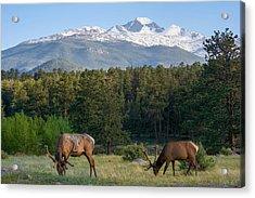 Grazing Elk With Longs Peak Acrylic Print by Aaron Spong