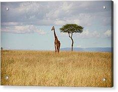 Grazing Giraffe Acrylic Print