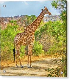 Grazing Giraffe Acrylic Print by Stephen Stookey