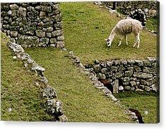 Grazing In Machu Picchu Acrylic Print