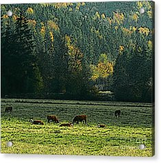 Grazing In The Skokomish Valley Acrylic Print