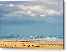 Grazing Near Highwood Acrylic Print by Todd Klassy