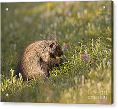 Grazing Porcupine Acrylic Print by Tim Grams