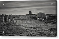Grazing With The Family Acrylic Print by Chris Fletcher