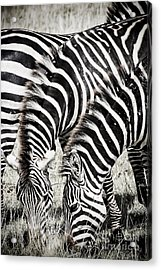 Grazing Zebras Close Up Acrylic Print by Darcy Michaelchuk