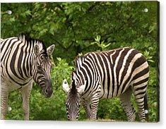 Grazing Zebras Acrylic Print by Sonja Anderson