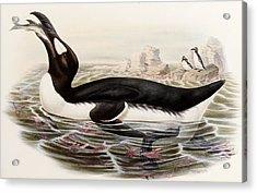 Great Auk Acrylic Print by John Gould