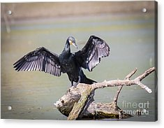 Great Black Cormorant Drying Wings After Fishing Acrylic Print