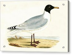 Great Black Headed Gull Acrylic Print by English School