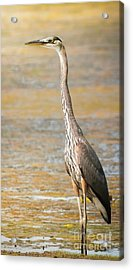 Acrylic Print featuring the photograph Great Blue At The Flats by Robert Frederick