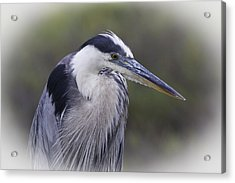 Great Blue Acrylic Print