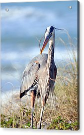 Great Blue Heron - Nesting Acrylic Print by Rose  Hill