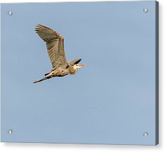 Acrylic Print featuring the photograph Great Blue Heron 2015-17 by Thomas Young