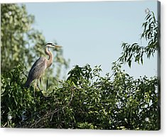 Acrylic Print featuring the photograph Great Blue Heron  2015-18 by Thomas Young