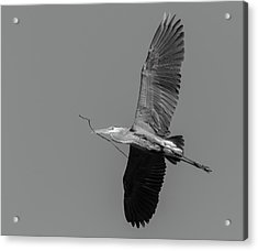 Acrylic Print featuring the photograph Great Blue Heron 2017-2 by Thomas Young