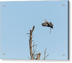 Great Blue Heron 2017-3 Acrylic Print by Thomas Young
