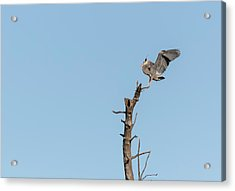 Great Blue Heron 2017-4 Acrylic Print by Thomas Young