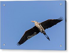 Great Blue Heron 2017-6 Acrylic Print by Thomas Young