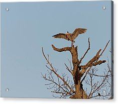 Great Blue Heron 2017-7 Acrylic Print by Thomas Young