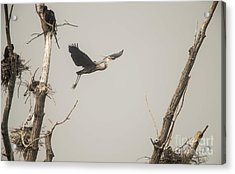 Acrylic Print featuring the photograph Great Blue Heron - 6 by David Bearden