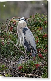 Great Blue Heron And Nestling Acrylic Print