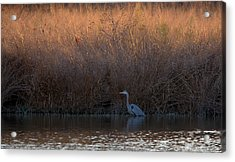 Great Blue Heron And Sunlit Field Acrylic Print
