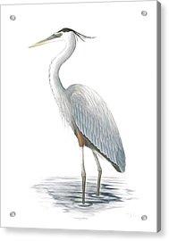 Great Blue Heron Acrylic Print by Anna Bronwyn Foley