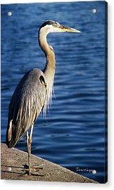 Great Blue Heron At Put-in-bay Acrylic Print