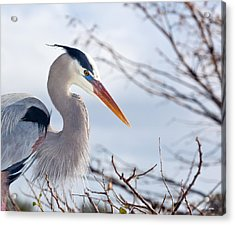 Great Blue Heron At Wakodahatchee Wetlands Acrylic Print by Michelle Wiarda