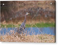 Acrylic Print featuring the photograph Great Blue Heron By The River by Sharon Talson