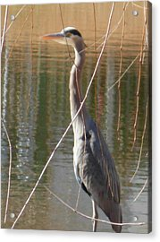 Acrylic Print featuring the photograph Great Blue Heron By Willow Tree by Jeanne Kay Juhos