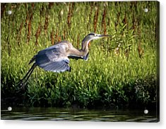 Great Blue Heron Acrylic Print by Cathy Cooley