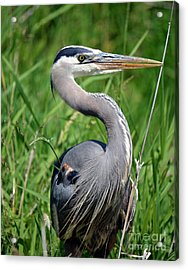 Great Blue Heron Close-up Acrylic Print