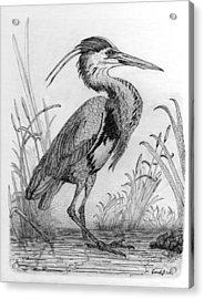 Great Blue Heron Acrylic Print by Cynthia  Lanka