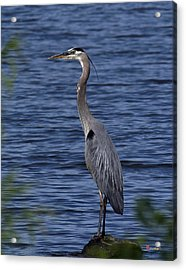 Great Blue Heron Dmsb0001 Acrylic Print