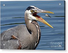 Great Blue Heron Feast Acrylic Print