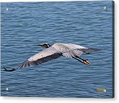 Great Blue Heron Flying Over Morro Bay Acrylic Print