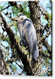 Great Blue Heron In A Tree Acrylic Print