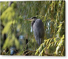 Great Blue Heron In A Willow Tree Acrylic Print by Keith Boone