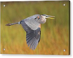 Great Blue Heron In Flight Acrylic Print by Bruce J Robinson